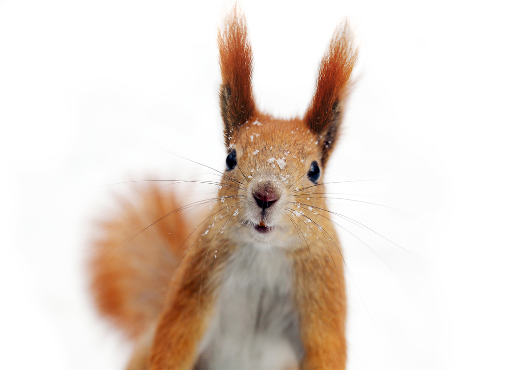 Should Squirrels Have the Right of Way? by Rachel Alexander