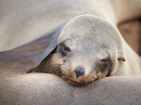 Sleeping seal, Skeleton Coast, Namibia